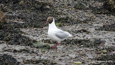 Black-Headed Gull Marchwood Southampton PDM 18-06-2016 17-07-44