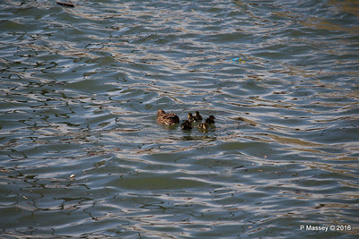 Mother Duck with 6 Ducklings Southampton 101 PDM 12-04-2016 15-20-45