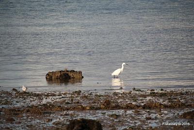 Little Egret Seagull Marchwood PDM 02-10-2016 18-12-10