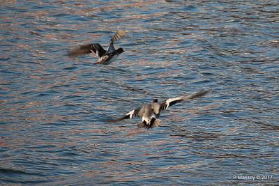 Ducks Marchwood 19-01-2017 14-23-05