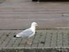 Seagull Eating Southampton PDM 20-07-2011 21-10-23