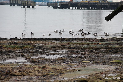 Brent Geese Marchwood PDM 15-03-2017 10-20-09