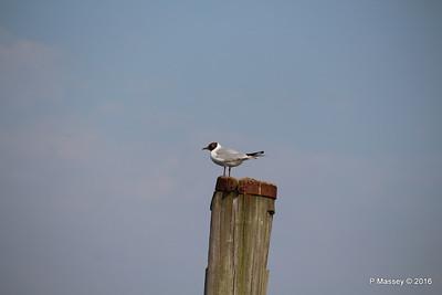 Marchwood Seagull 13-05-2016 17-14-40