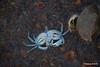 Dead Crab max width 6cm Marchwood PDM 27-04-2016 19-10-52