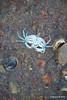 Dead Crab max width 6cm Marchwood PDM 27-04-2016 19-10-38