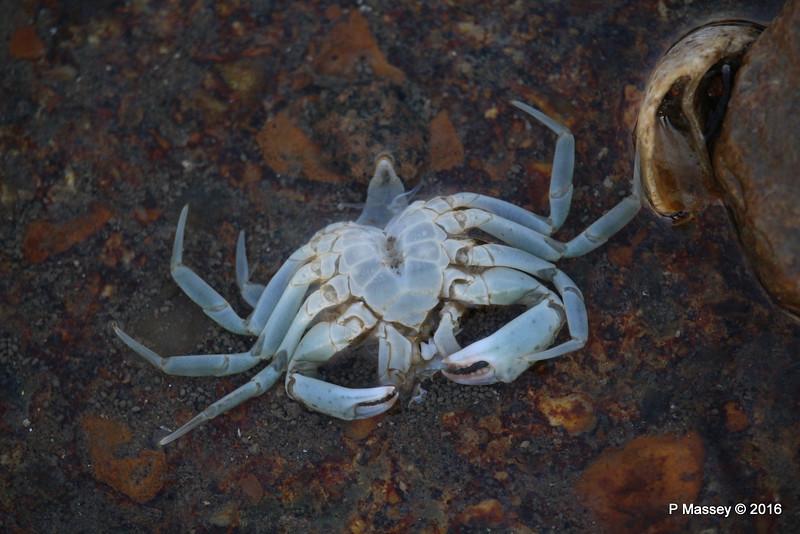 Dead Crab max width 6cm Marchwood PDM 27-04-2016 19-10-54