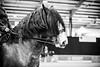 Shire-Horse-Show-18-044