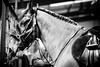 Shire-Horse-Show-18-036
