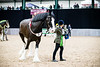 Shire-Horse-Show-18-152