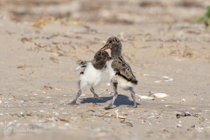 Australian Pied Oystercatcher