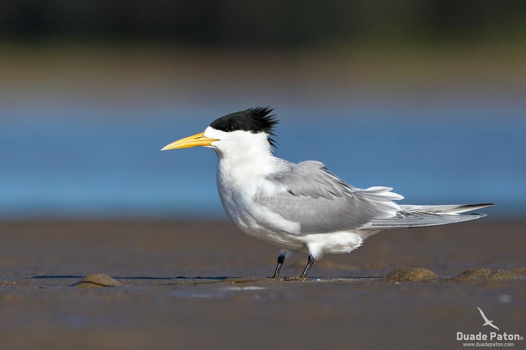 Crested Tern - Breeding Plumage