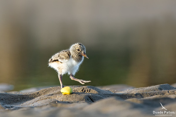 Pied Oystercatcher