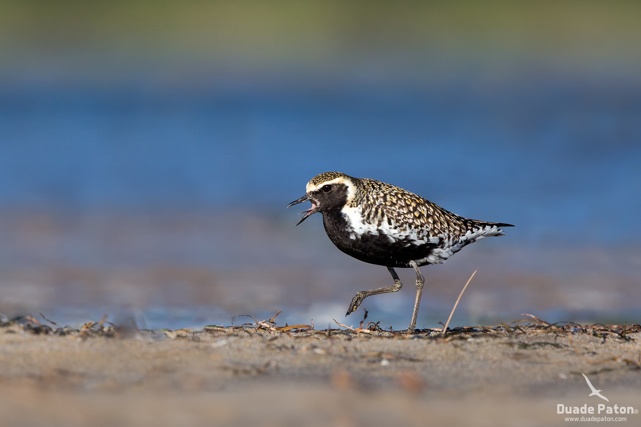 Pacific Golden Plover (Breeding Plumage)