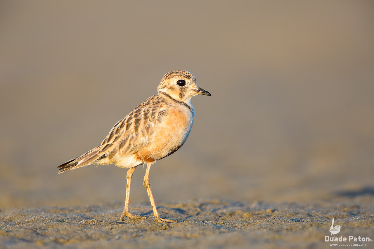 Inland Dotterel - Likely Juvenile