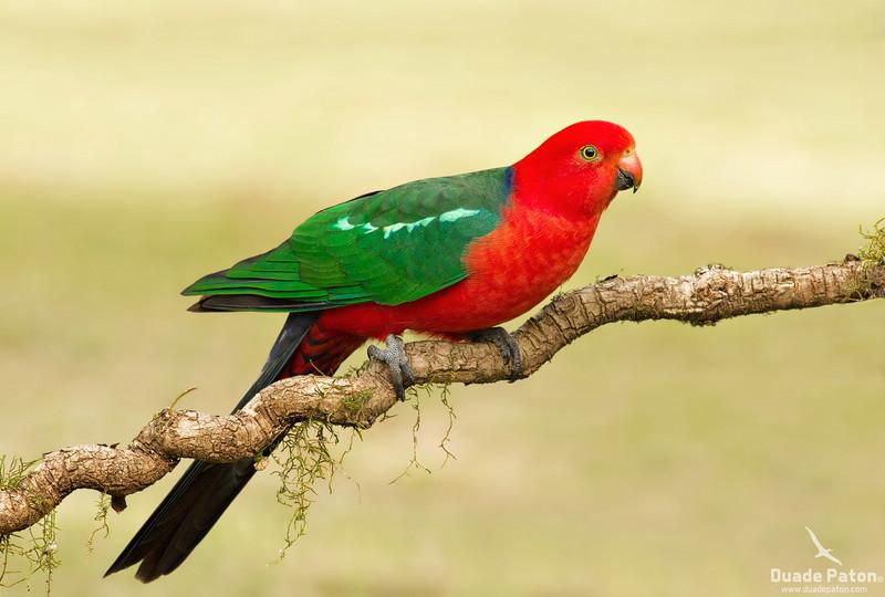 Australian King Parrot (Male)
