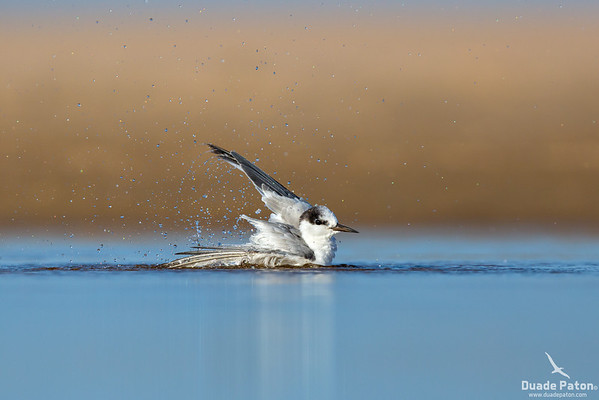 Little Tern - Non-breeding