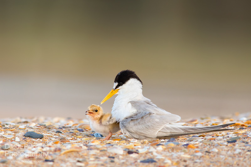 Little Tern and its chick.