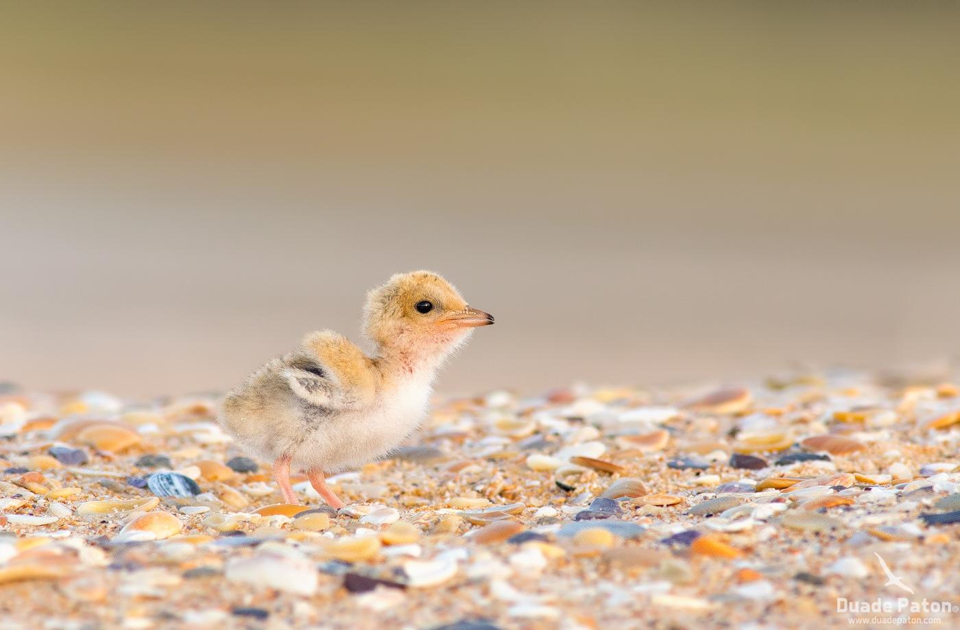 Little Tern Chick