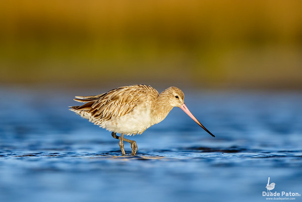 Bar-tailed Godwit