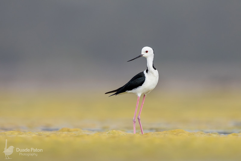 #1 Black-winged Stilt