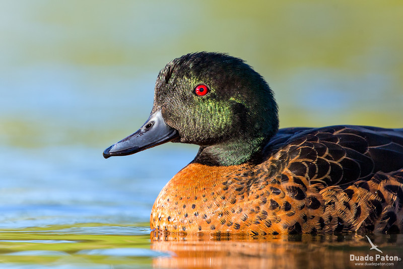 Chestnut Teal (Male)