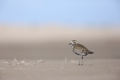 Pacific Golden Plover (Pluvialis fulva) in breeding plumage.