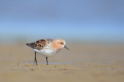 Red-necked Stint (Calidris ruficollis) in breeding plumage just checking me out