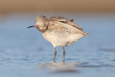 Bar-tailed Godwit (Limosa lapponica) preening