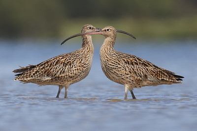 Warning: Curlew crossing ahead