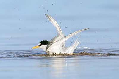 Little Tern (Sternula albifron) enjoying a bath