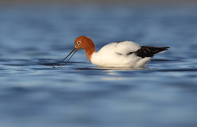 Red-necked Avocet (Recurvirostra novaehollandiae) adult feeding