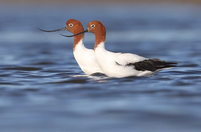 Red-necked Avocet (Recurvirostra novaehollandiae) adults