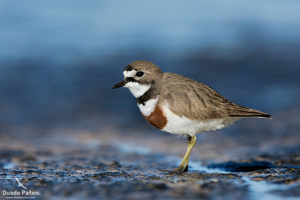 Double Banded Plover - Breeding Plumage