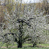 The apple trees at Sholan farms in Leominster are in full bloom on Tuesday May 11, 2021. This one will produce Macoun apples and is about 100 yeqrs old. The farm will get about 20 bushels of apples from this one tree. SENTINEL & ENTERPRISE/JOHN LOVE