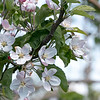 The apple trees at Sholan farms in Leominster are in full bloom on Tuesday May 11, 2021. SENTINEL & ENTERPRISE/JOHN LOVE