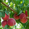 Joanne DiNardo, President of Sholan Farms, talked about the farm as she gave a tour on Tuesday afternoon, August 27, 2019. Some of the peaches they have that are ready to be picked. SENTINEL & ENTERPRISE/JOHN LOVE