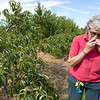 Joanne DiNardo, President of Sholan Farms, talked about the farm as she gave a tour on Tuesday afternoon, August 27, 2019. Here she talks about the second season of the peaches they have as she tries one during the tour. SENTINEL & ENTERPRISE/JOHN LOVE