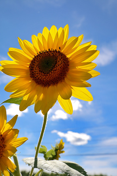The sun back lit this sunflower Sholan Farms community gardens on Tuesday afternoon. SENTINEL & ENTERPRISE/JOHN LOVE