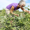 Andrea Grant was tending to a friends plants at the Sholan Farms community gardens while he was on vacation on Tuesday afternoon. SENTINEL & ENTERPRISE/JOHN LOVE