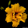 Orange, Double Day-Lily