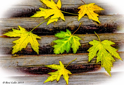 Bench Maple Leaves