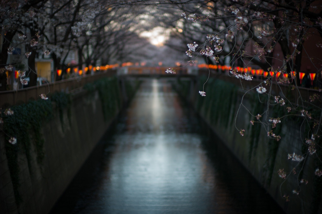 Cherry Blossoms on Meguro River