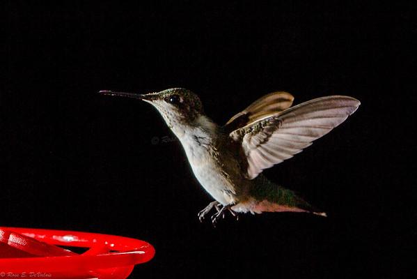 Shooting Hummingbird's