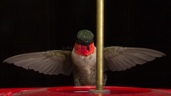 Shooting Hummingbird's