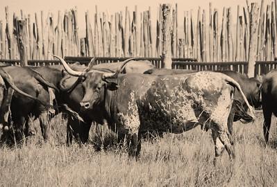 Mama Longhorn