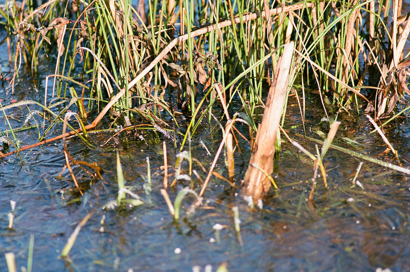 Pond Reeds in Ice