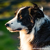 #collie #sheepdog #profile #poser