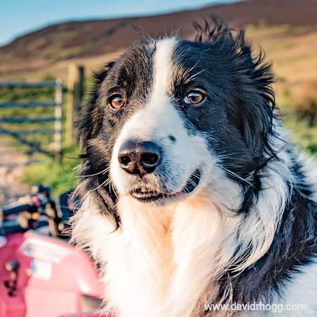 #collie #sheepdog #profile #poser #farm #bridgefarm #isleofarran #arran