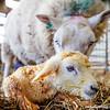 #newborn #lamb #farmshoot #arran #isleofarran #sheep