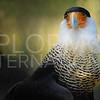 Audubon Crested Caracara